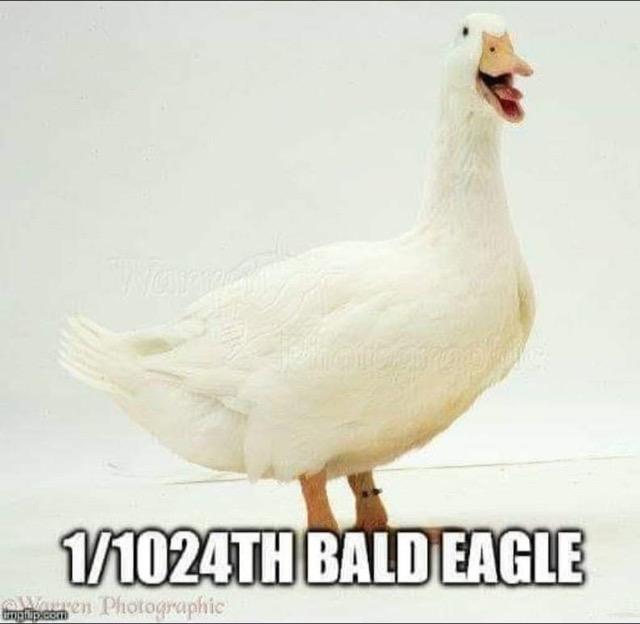 Warren duck bald eagle