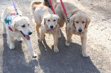 3_golden_retrievers