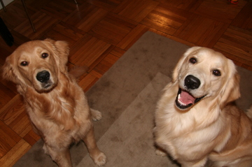 Golden_puppies