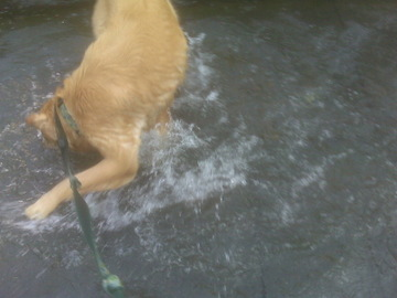 Golden_fountain_swim